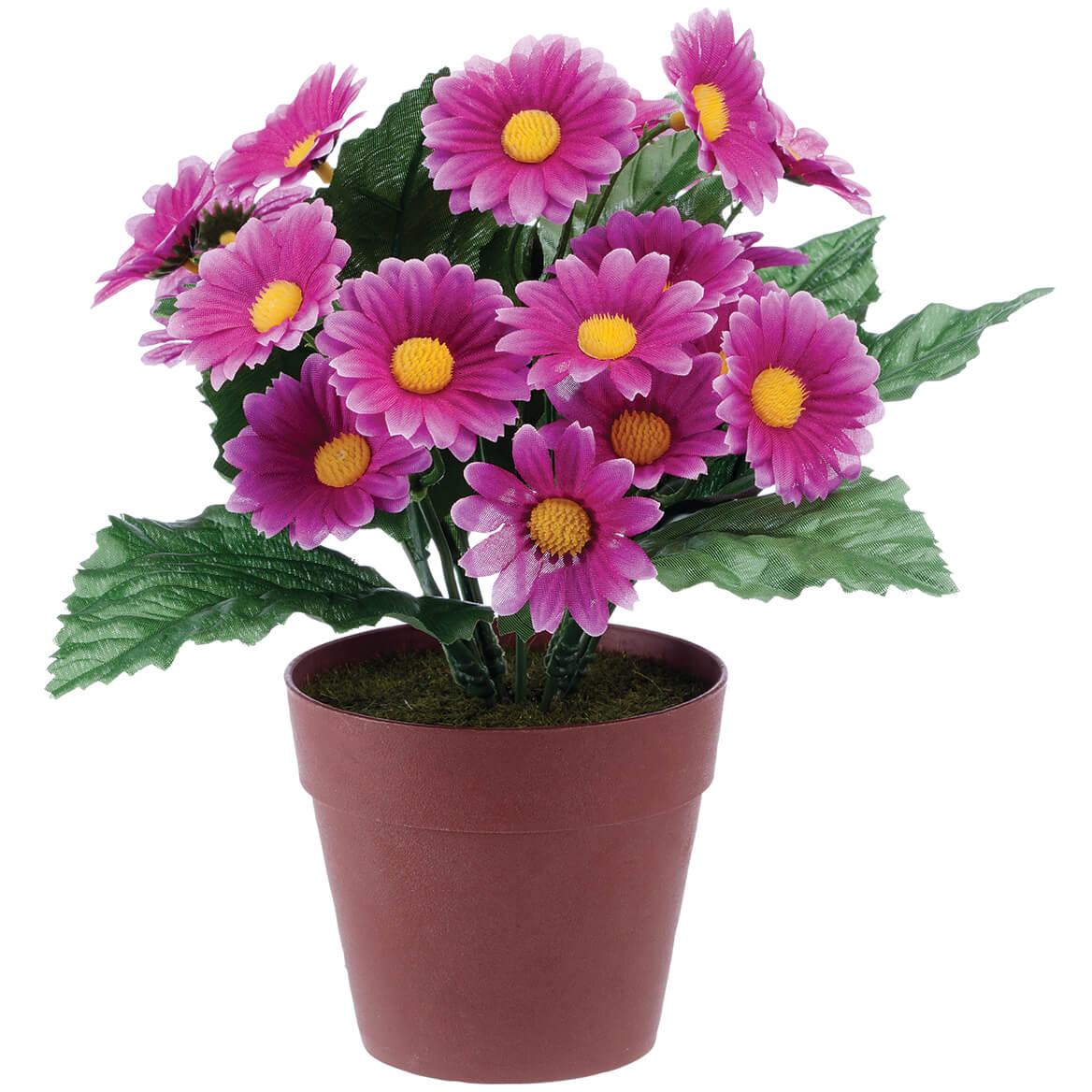 Chậu hoa cúc chi tím
