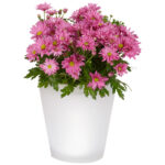 Hoa cúc tím để phòng