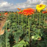 Thăm mô hình trồng hoa đồng tiền tại Thái Bình